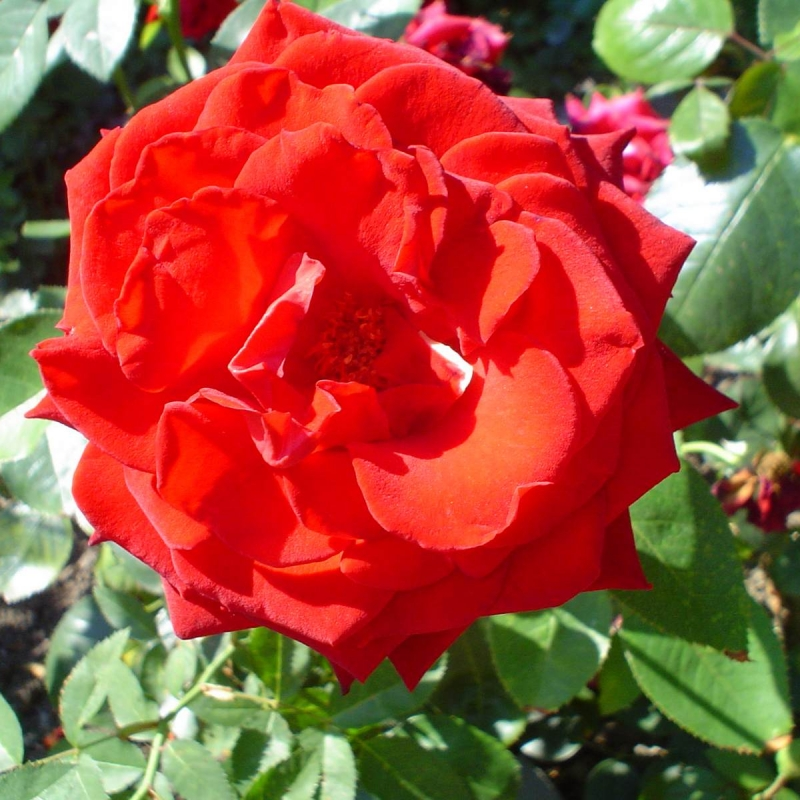 Розы Милдред Шил