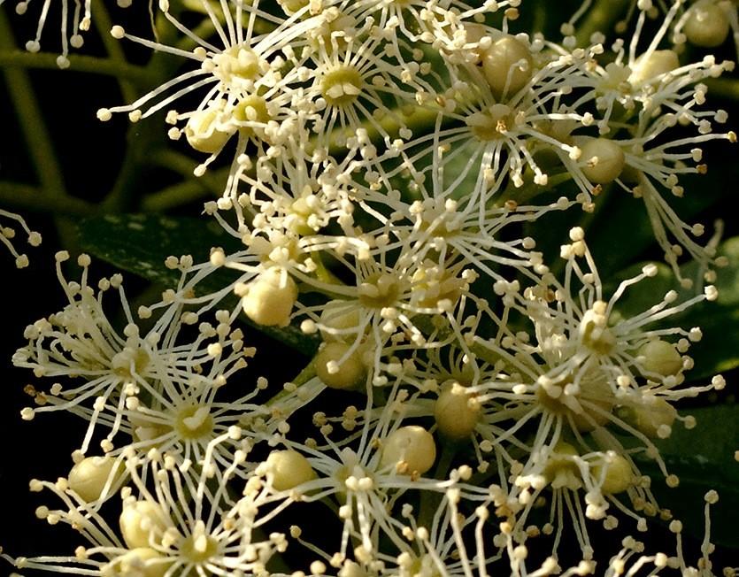 Цветение гортензии герешковой