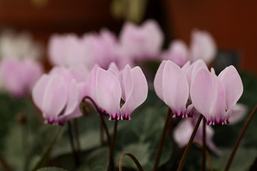 Цикламен бледно-розовый