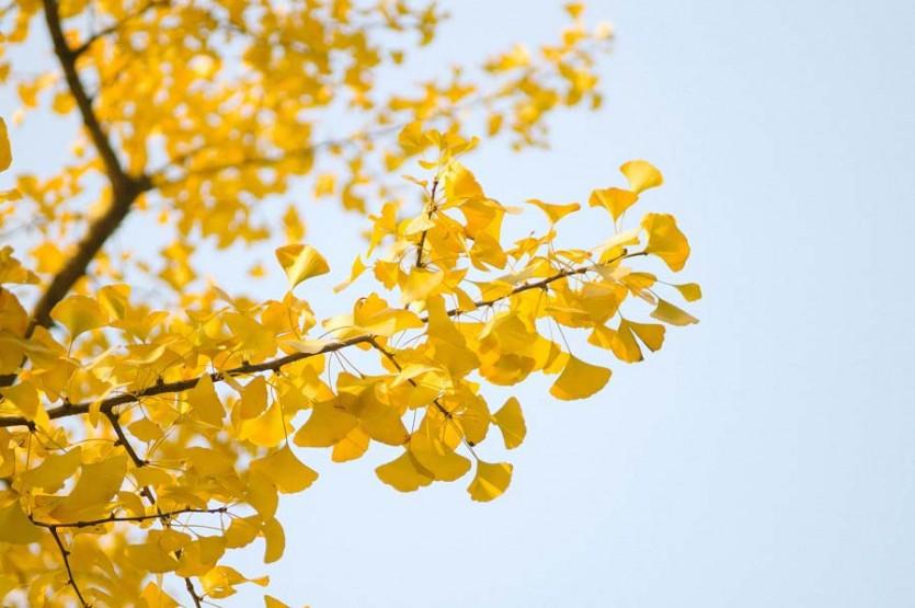 Гинкго листья