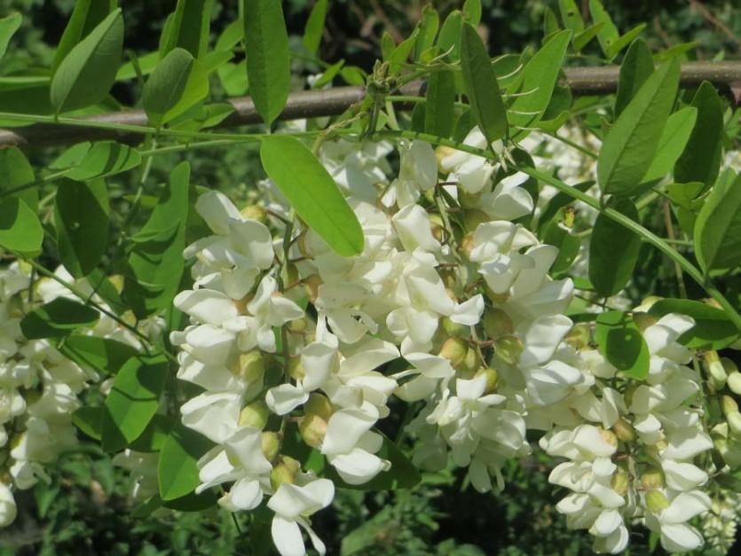 Robinia bloom