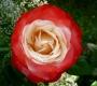 Роза Ностальгия TANTAU