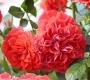Роза Миами