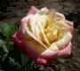 Роза Фиджи Interplant