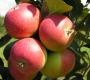Яблоня летняя Елена