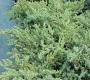 Можжевельник чешуйчатый Ханнеторп С2