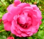 Роза Роди TANTAU
