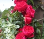 Роза Флорентина KORDES