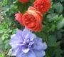 Роза Саммер Cонг