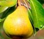 Груша Сладкая красавица (колоновидная)