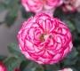 Роза Маврикий Interplant