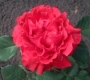 Роза Эль Торро