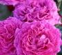 Роза штамбовая Шартрез де Парм