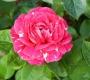 Роза Ола