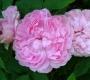 Роза Мэри Роуз