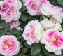 Роза Гернси Interplant