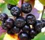 Рябина черноплодная Рубина
