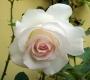 Роза штамбовая Мунстоун
