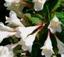Вейгела цветущая Блэк энд Уайт C2