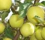 Яблоня зимняя Голден Делишес