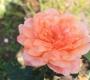 Роза Самаритан