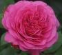 Роза Баронесса TANTAU