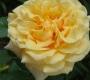 Роза Карамелла KORDES