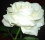 Роза штамбовая Карен Бликсен
