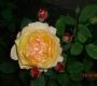 Роза Велл Биинг Harkness