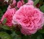 Роза Зайде KORDES