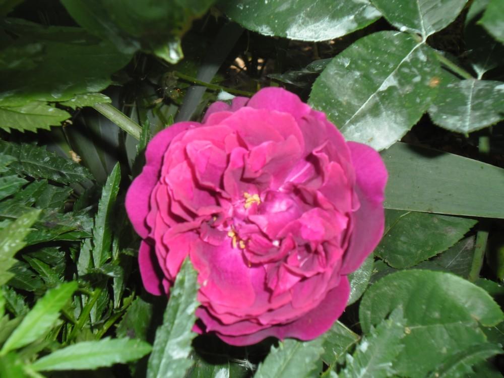 роза жуа де вивр фото края полоски