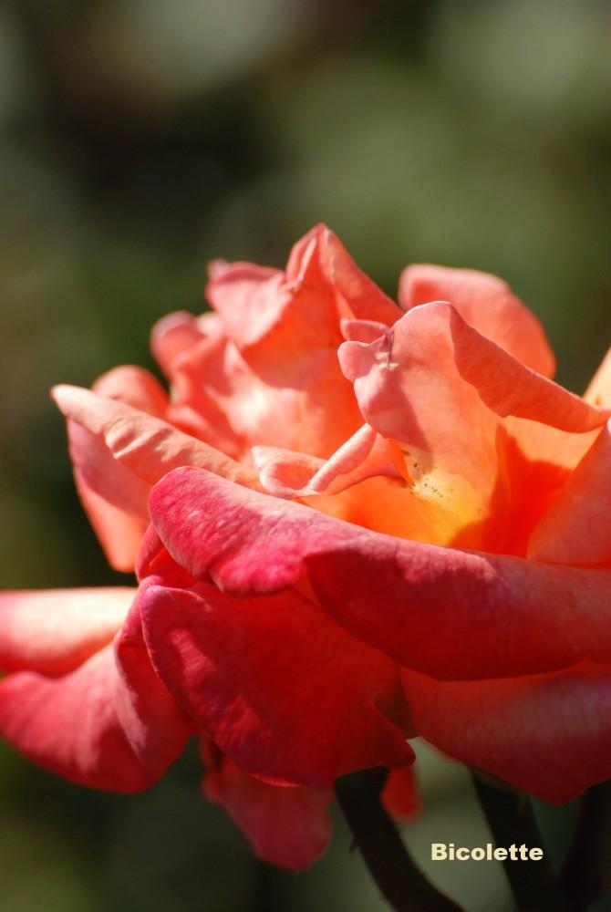 Роза чайно гибридная биколетте