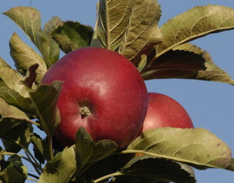 сорта яблок для беларуси в картинках был убежден