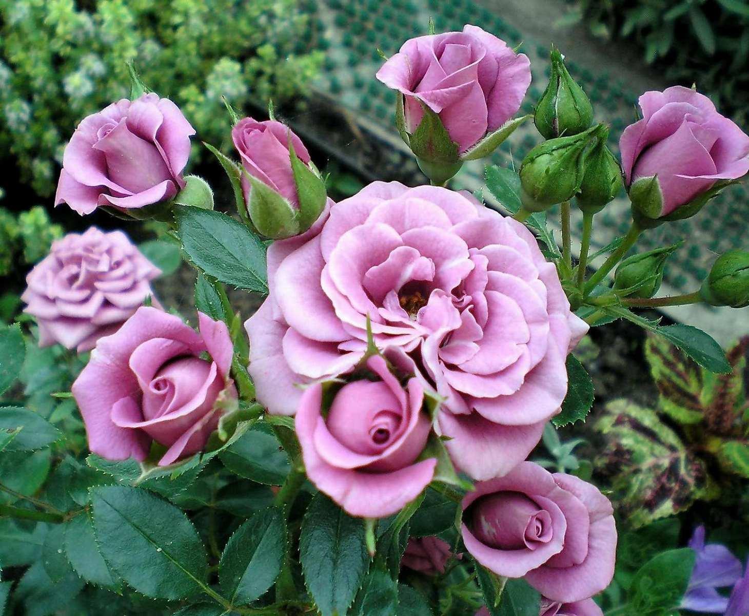 сорта миниатюрных роз с фото и названиями вам