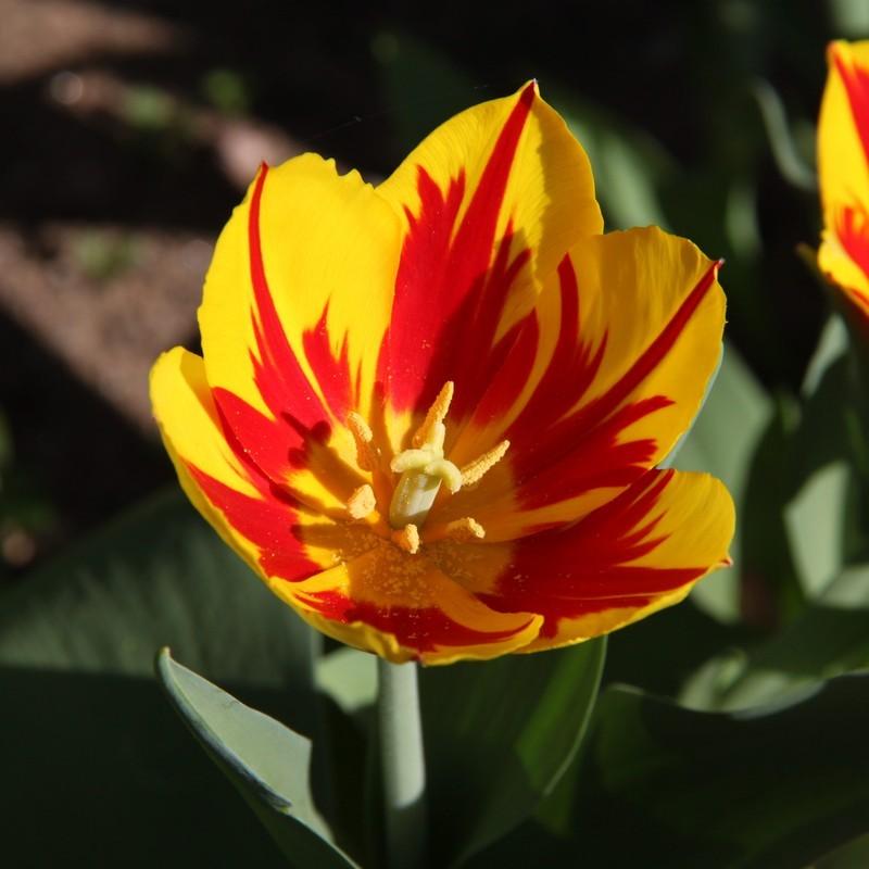 выполнения иерусалимский тюльпан фото совсем