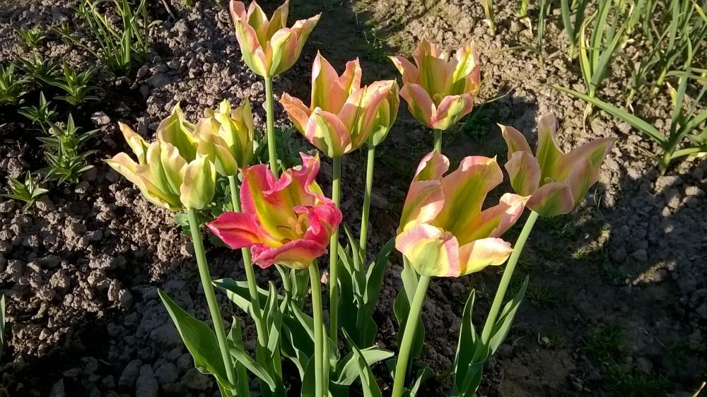 tulpen virichich katalog sorten samen tulpen virichich pflege vermehren und uberwintern. Black Bedroom Furniture Sets. Home Design Ideas