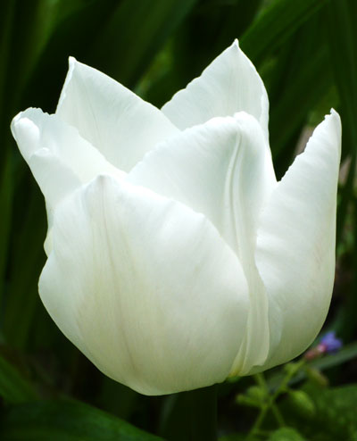 tulpen uayt kaskad katalog sorten samen tulpen uayt kaskad pflege vermehren und. Black Bedroom Furniture Sets. Home Design Ideas
