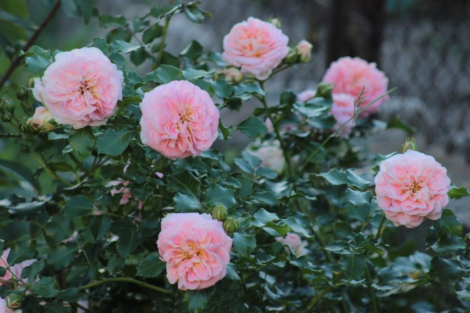 rosen kontserto 94 katalog sorten rosen kontserto 94 pflanzen vermehren behandlung und. Black Bedroom Furniture Sets. Home Design Ideas