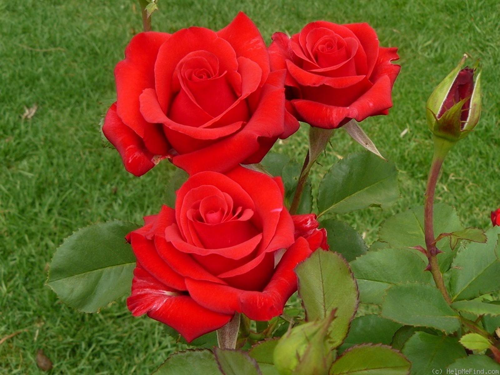 малышам розы кардинал фото различных моделей