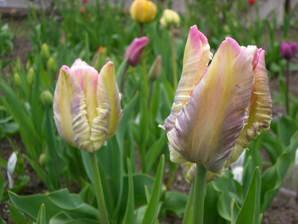 tulpen veberz perrot katalog sorten samen tulpen veberz perrot pflege vermehren und. Black Bedroom Furniture Sets. Home Design Ideas