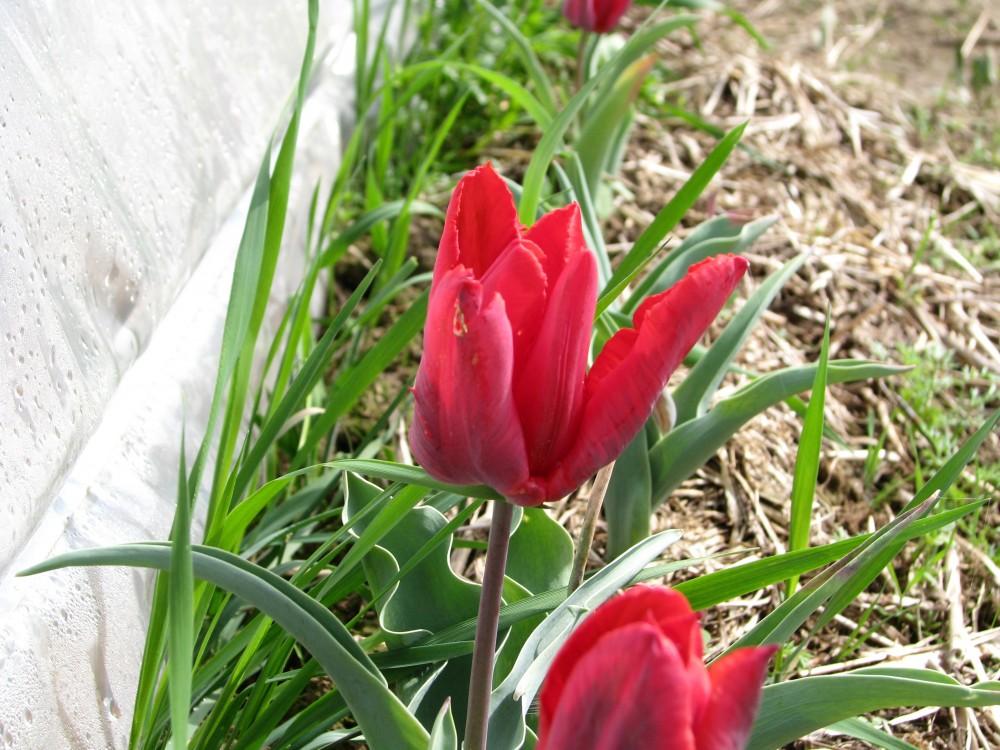 tulpen red jorjetta katalog sorten samen tulpen red jorjetta pflege vermehren und. Black Bedroom Furniture Sets. Home Design Ideas