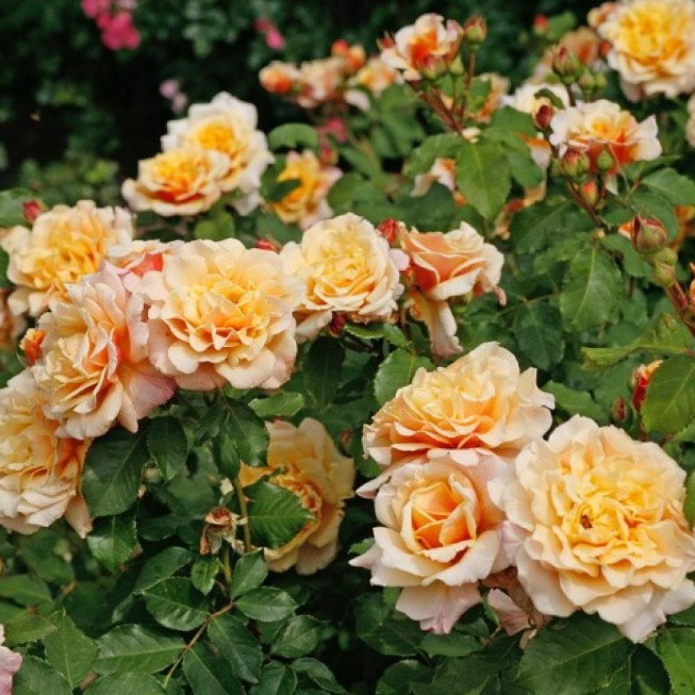 Роза карамелла отзывы