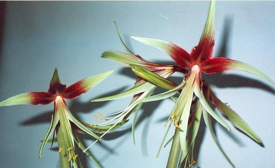 Hippeastrum unk grin salyut plantation entretien for Entretien hippeastrum
