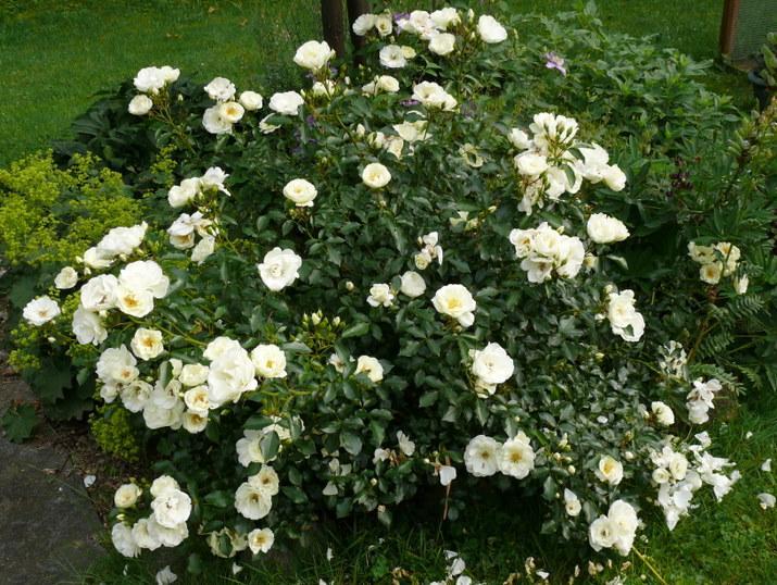 rosen shnifloke katalog sorten rosen shnifloke pflanzen. Black Bedroom Furniture Sets. Home Design Ideas