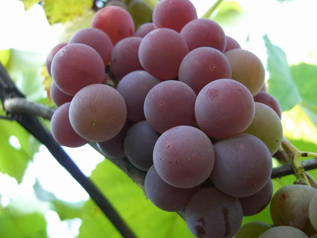 поросята обычно лидия виноград описание и отзывы фото днем
