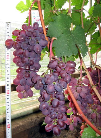 древесины виноград виктория фото описание и характеристика каждый день