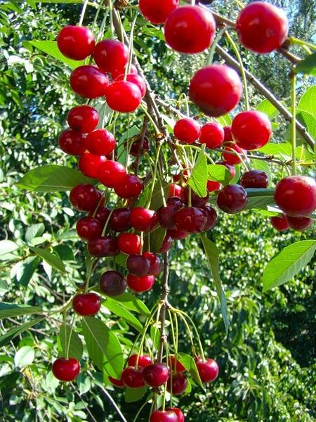 kirschbaum shubinka katalog sorten kirschbaum shubinka pflanzen vermehren behandlung und. Black Bedroom Furniture Sets. Home Design Ideas