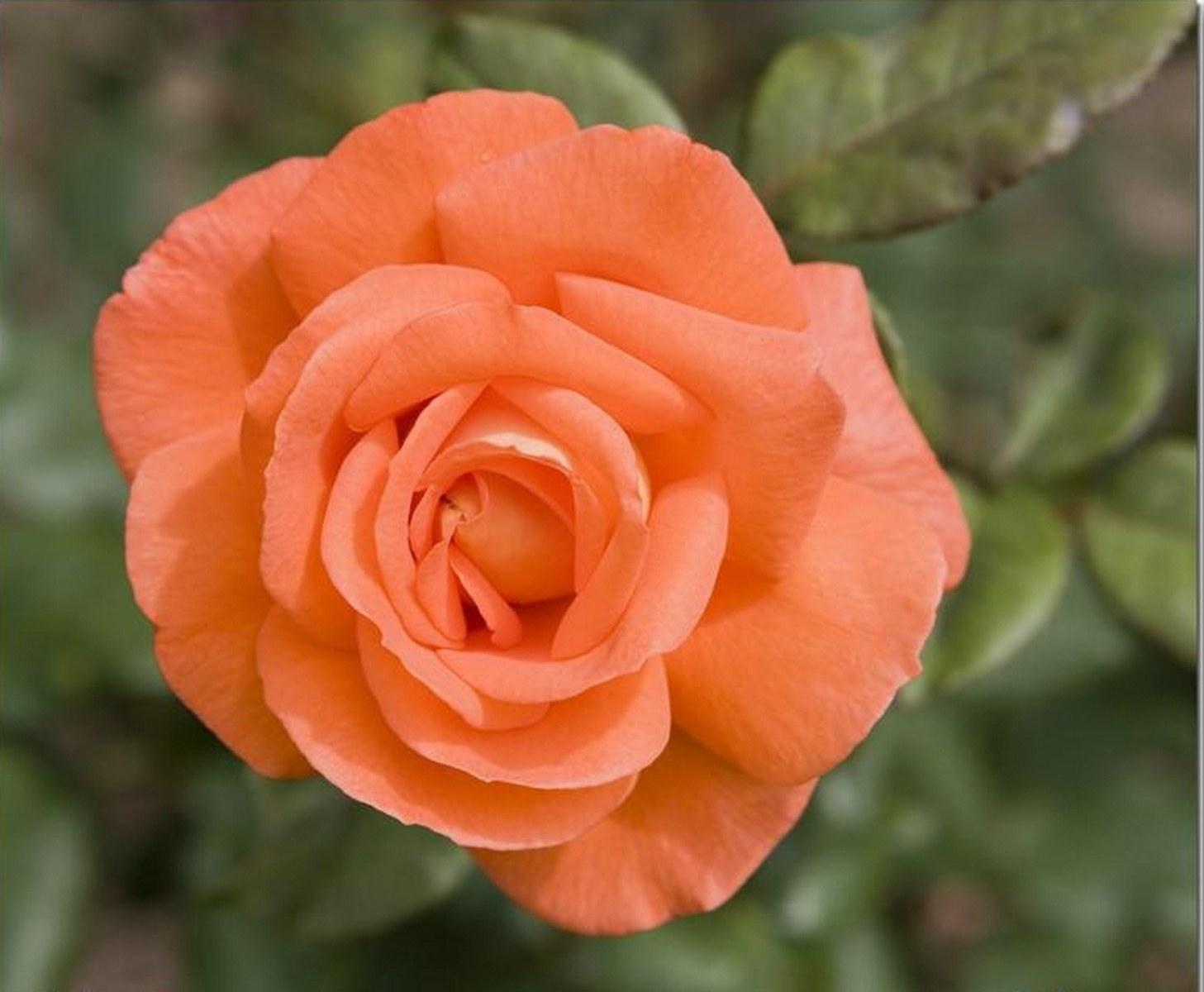или современная розы цвета лосося фото оказалось, что германии