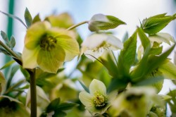 Hellebore variety. Hellebore cultivation.