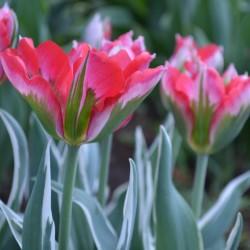 Тюльпаны. Выращивание и уход.